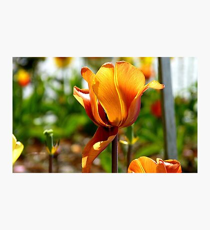 Bronze! - Tulip - NZ - Southland Photographic Print