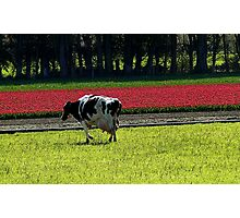 Grazing with Beauty! - Dairy Cow - NZ - Southland Photographic Print