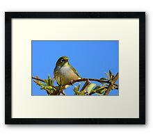 Another glorious day! - Silvereye - NZ - Southland Framed Print