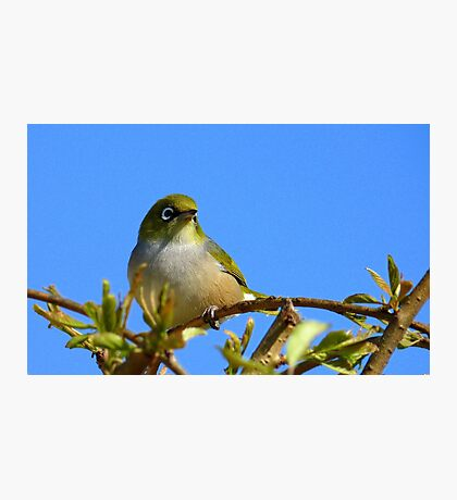 Another glorious day! - Silvereye - NZ - Southland Photographic Print