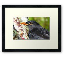 Intense Stare! - Blackbird - NZ - Southland Framed Print