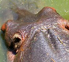 HIPPO HEAD PHOTO by SofiaYoushi