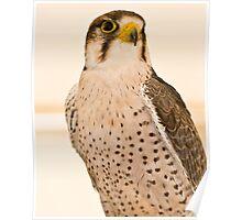 Perched Falcon Poster
