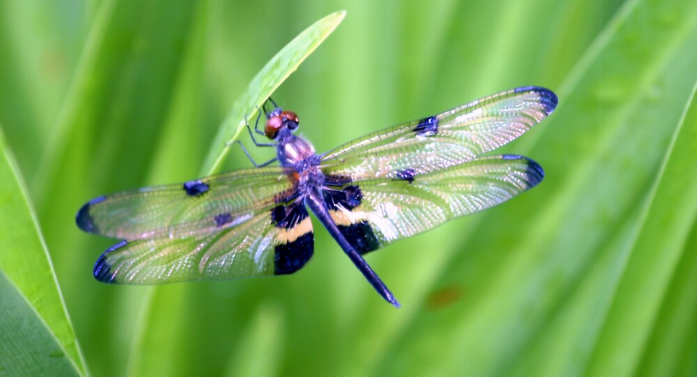 Dragonfly with Bumble Bee markings - Laguna Whitsundays by JenniferW
