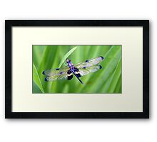 Dragonfly with Bumble Bee markings - Laguna Whitsundays Framed Print