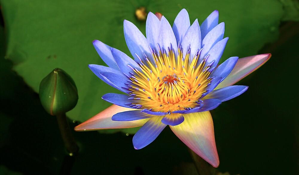 Full Bloom - Laguna Lilly - Whitsundays by JenniferW