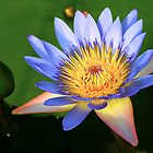 Full Bloom - Laguna Lilly - Whitsundays by JenniferW