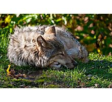 Sleeping Timber Wolf Photographic Print