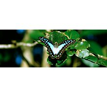 Blue Butterfly - Laguna Whitsundays Photographic Print