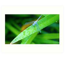 Silver/Blue Dragonfly - Laguna Whitsundays Art Print