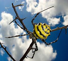 Black & Yellow Garden Spider by Gerry Van der Walt