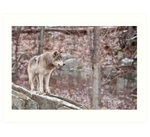 Timber Wolf on Outcropping Art Print