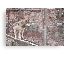 Timber Wolf on Outcropping Metal Print