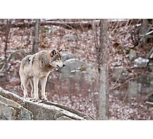 Timber Wolf on Outcropping Photographic Print