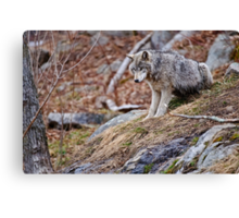 Timber Wolf sitting on Rocks Canvas Print