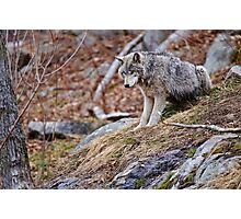 Timber Wolf sitting on Rocks Photographic Print