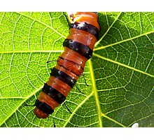 Tiger Bug Photographic Print
