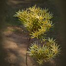 Wilson's Wonder Leucadendron by Elaine Teague
