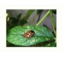 Murgantia histrionica - Harlequin Bug Art Print