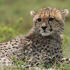 cheetah cub by stewartshang
