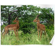 uMfolozi Impala Poster