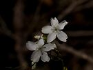 Bridal Rainbow (Drosera macrantha) by Elaine Teague