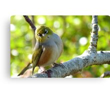 I'll Pose for your Today! - Silvereye - NZ Southland Canvas Print