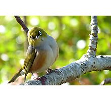 I'll Pose for your Today! - Silvereye - NZ Southland Photographic Print
