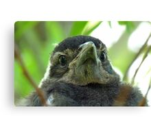 What on Earth are you! - Baby Magpie - NZ - Southland Canvas Print