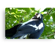 """Final warning """"GO AWAY""""! - Magpie - New Zealand Canvas Print"""