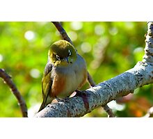 Lost in Deep Thought! - Silvereye - NZ Photographic Print