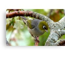 That Special Look! - Silvereye - NZ Canvas Print
