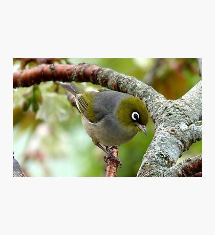 That Special Look! - Silvereye - NZ Photographic Print