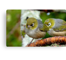 Are you following me? - Silvereye - NZ - Southland Canvas Print