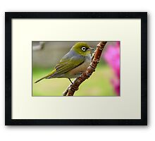 Walking the tide rope - Silvereye - NZ Framed Print