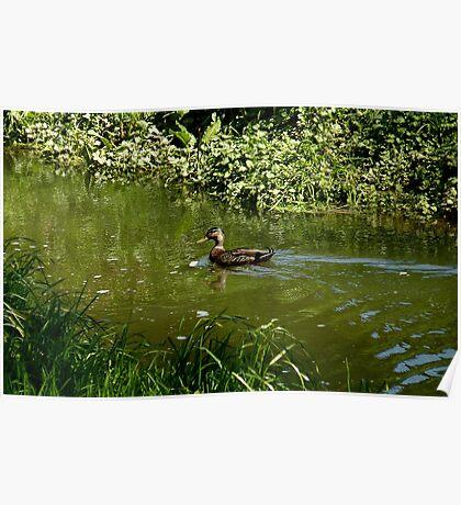 Wild Stream Dweller! - Mallard Duck - NZ Southland Poster