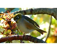 Balancing on one foot! - Silvereye - NZ - Southland Photographic Print