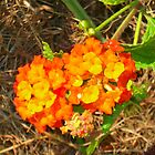 Texas Lantana by ClintDMc