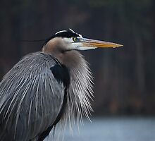 Blue Heron by madman4