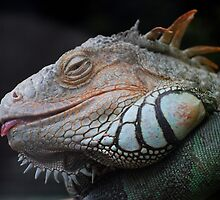 Iguana by Nicholas Richardson
