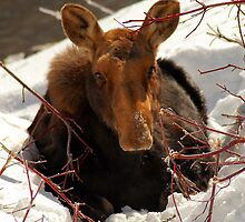 Baby Moose in Snow by Ryan Houston