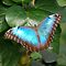 Blue Morpho by Anne Smyth
