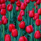 Red Tulips by Tim Yuan
