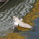Gull Takes Flight by Larry149