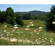 WV daisies Photographic Print
