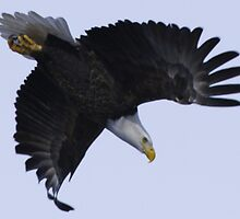 bald eagle in flight by rlkstudio