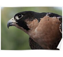 Falcon Eye Poster