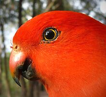 King Parrot by Ern Mainka