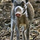 Visayan Warty Pig by Yampimon