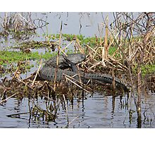 Scratching Gator Photographic Print